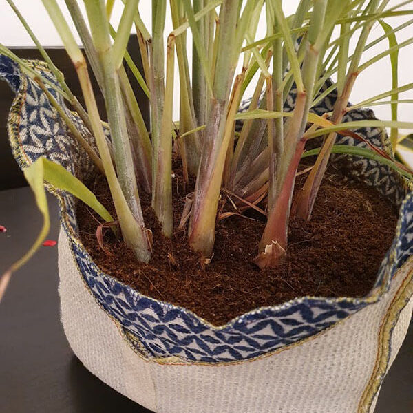 How to grow lemongrass in grow bag