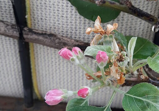 Apple tree on the 4th floor - second blossoming in grow bag
